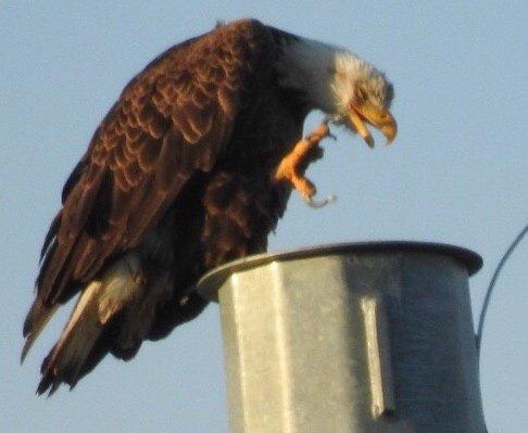 Bald eagle in Cutler Park