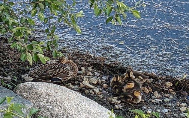 Mother and baby ducks going to sleep