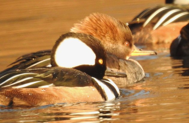 Hooded mergansers on Jamaica Pond