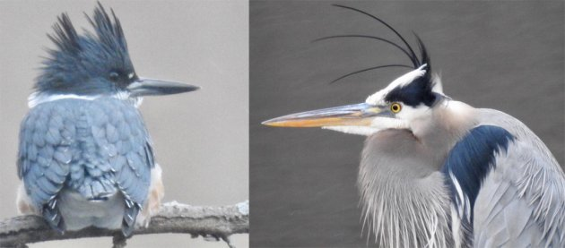 Belted kingfisher and great blue heron at Leverett Pond