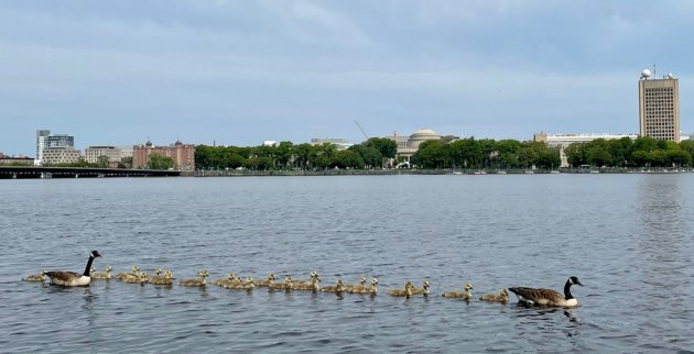 A lot of goslings on the Charles River
