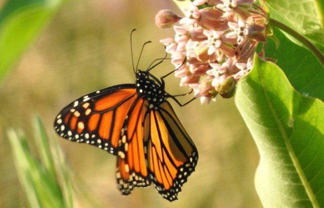 Monarch butterfly in Millennium Park