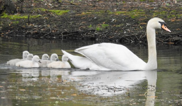 Swan and cynets on the Charles River