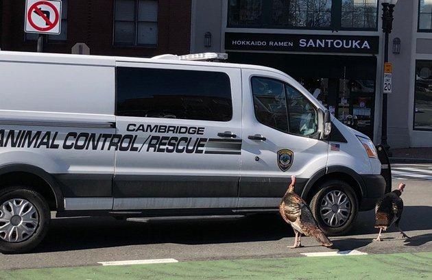 Turkeys with animal-control van in Harvard Square