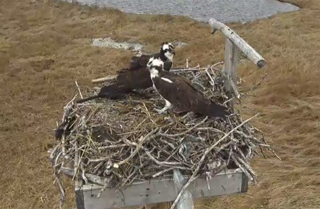 Ospreys at Belle Isle Marsh