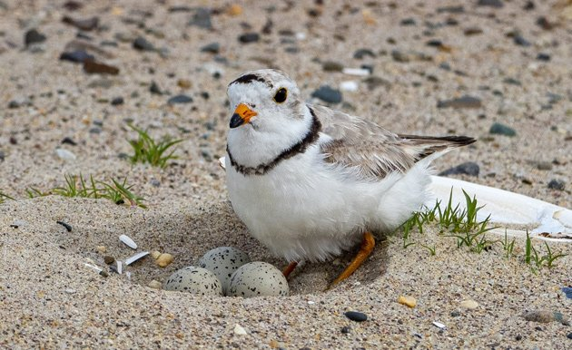 Plover with eggs on Revere Beach
