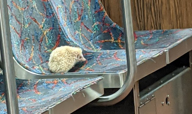 Popcorn the hedgehog