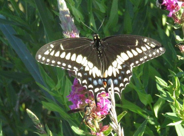 Butterfly in Millennium Park