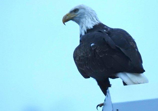 Eagle at Millennium Park
