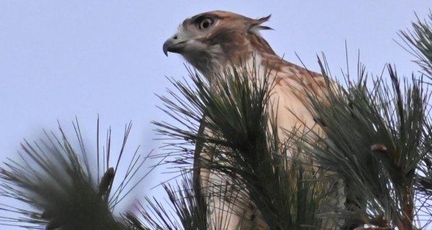 Hawk in a pine tree in South Boston