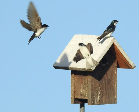 Tree swallows fight for prime space at Millennium Park