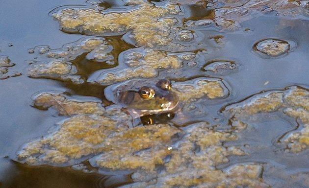 Frog in a pond on the JP/Brookline line