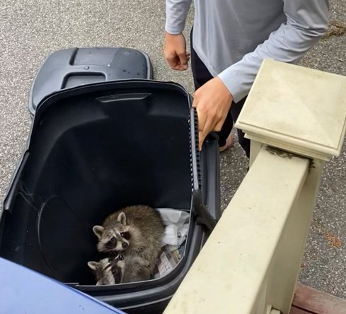 Raccoons in the trash