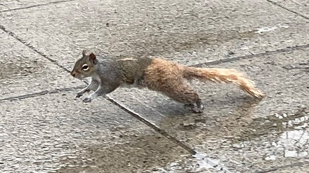 Two-tone squirrel