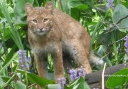 Bobcat in Boston?