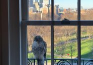Hawk at a window