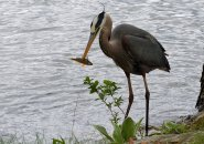 Heron with a fish snack at Jamaica Pond