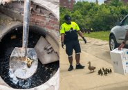 Duckling being scooped out of storm drain and the rest of her family