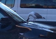 Seagull ripping a windshield wiper apart in East Boston