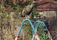 Turkey atop swings in Allston