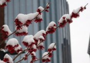 Snow-covered witch hazel in the Back Bay
