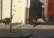 Turkeys in Jamaica Plain