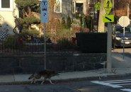 Coyote in Roslindale