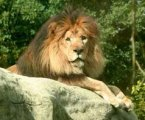Christopher the Lion at Franklin Park Zoo