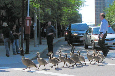 Geese Xing
