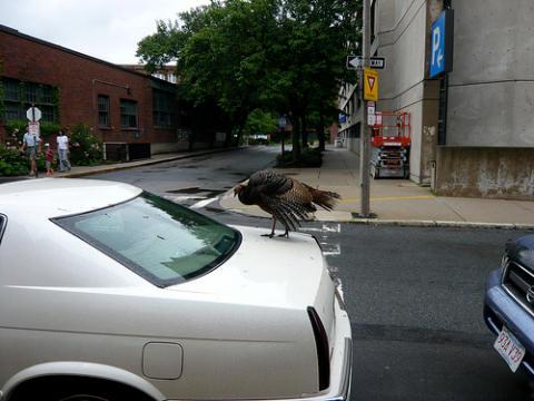 Turkey on the loose