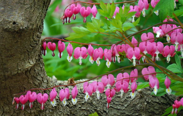 Bleeding hearts at Lilac Sunday