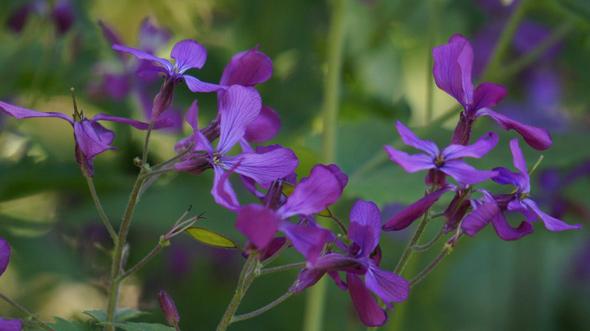 Neponset purple wildflower