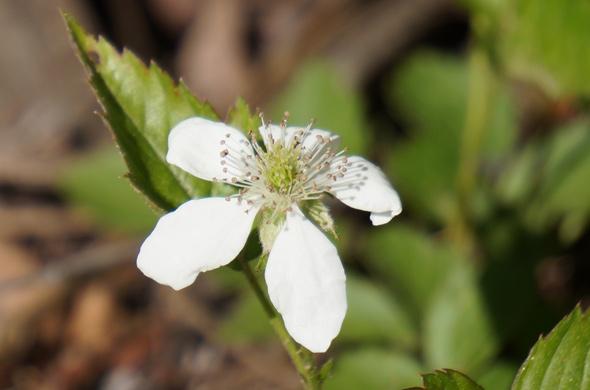 Neponset white wildflower