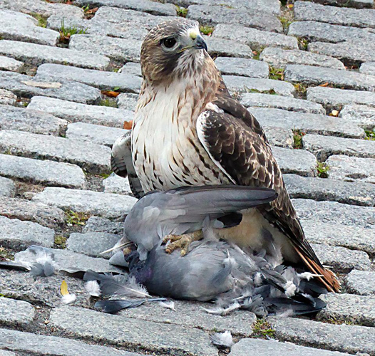 Hawk about to eat a pigeon
