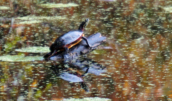 Wards Pond turtle