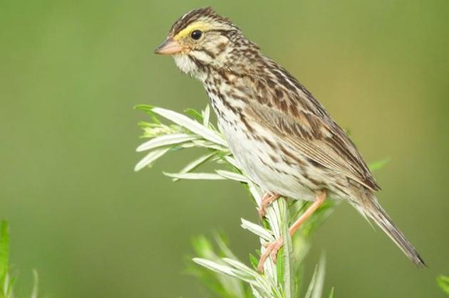Sparrow at Millennium Park