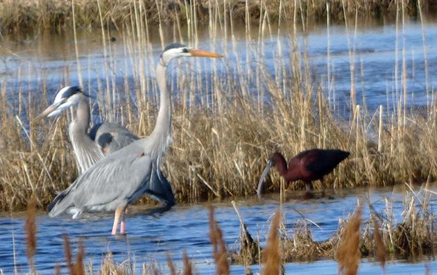 Herons and an ibis