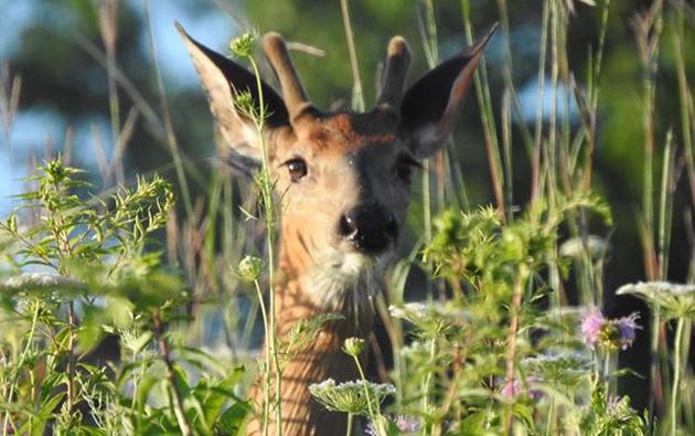 Young deer at Millennium Park