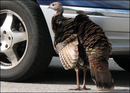 You turkey!